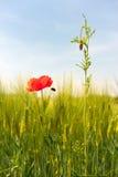 Las flores salvajes acercan al campo de maíz Fotos de archivo libres de regalías