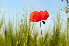 Las flores salvajes acercan al campo de maíz Imagenes de archivo