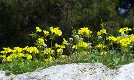 Las flores salvajes amarillas de la primavera brotaron en una piedra blanca weed foto de archivo