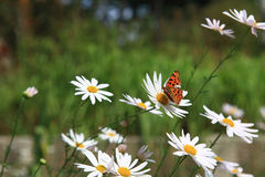 Las flores salvajes blancas del crisantemo foto de archivo
