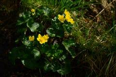 Las flores salvajes de la primavera amarillean la flor de globo húmeda del arbusto imagen de archivo