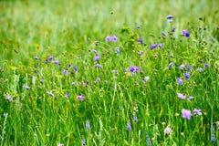 Las flores salvajes en el prado Imagen de archivo libre de regalías