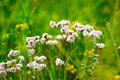 Las flores salvajes en el prado Foto de archivo