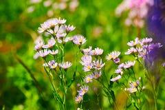 Las flores salvajes en los prados Fotos de archivo