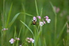Las flores salvajes y manosean la abeja Imagen de archivo