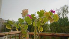 Las flores se colocan en el balc?n y la ocsilaci?n debajo del viento El tiempo es imprevisible Va a llover pronto metrajes