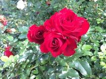 Las flores se levantaron Imagenes de archivo