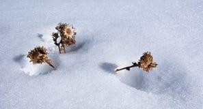 Las flores secadas empujan a través de la nieve imagen de archivo libre de regalías