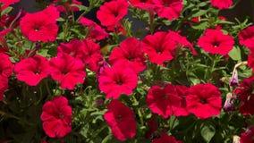 Las flores son campanas rojas 4K almacen de video