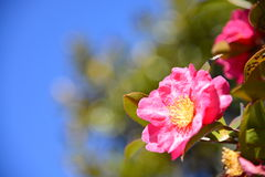 Las flores son sasanqua floreciente Imagenes de archivo