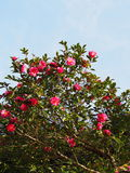 Las flores son sasanqua floreciente Fotos de archivo libres de regalías