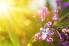 Las flores violetas de la lila se cierran para arriba con los rayos y el bokeh del sol imagen de archivo