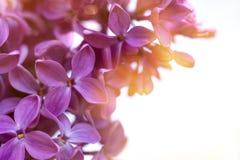 Las flores violetas de la lila se cierran para arriba en blanco imagen de archivo