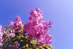 Las flores vulgaris del Syringa púrpura de la lila florecen debajo del cielo azul en el jardín botánico imágenes de archivo libres de regalías
