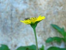Las flores y las abejas amarillas vienen tomar una bebida dulce de Gaysorn Imagen de archivo libre de regalías