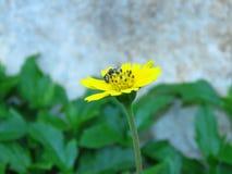 Las flores y las abejas amarillas vienen tomar una bebida dulce de Gaysorn Fotos de archivo