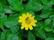 Las flores y las abejas amarillas vienen tomar una bebida dulce de Gaysorn Imágenes de archivo libres de regalías