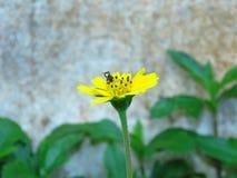 Las flores y las abejas amarillas vienen tomar una bebida dulce de Gaysorn Foto de archivo libre de regalías