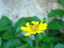 Las flores y las abejas amarillas vienen tomar una bebida dulce de Gaysorn Fotos de archivo libres de regalías