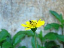 Las flores y las abejas amarillas vienen tomar una bebida dulce de Gaysorn Fotografía de archivo libre de regalías