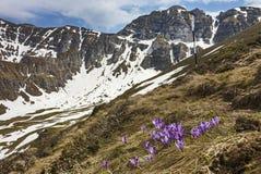 Las flores y la primavera del azafrán ajardinan en las montañas imagen de archivo