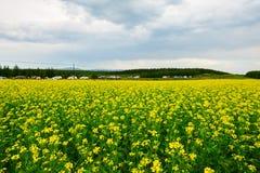 Las flores y las nubes de oro de la violación Imagenes de archivo