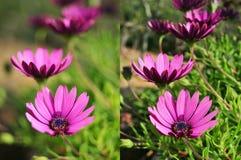 Las fotos de flores púrpuras tiraron con diversas aberturas foto de archivo libre de regalías