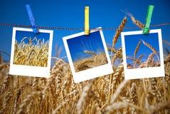 Las fotos del trigo cuelgan en cuerda con los contactos imágenes de archivo libres de regalías