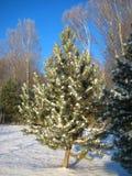 Las fotos macras con invierno soleado del fondo del paisaje ajardinan con el árbol de navidad en nieve Imagen de archivo