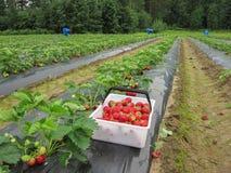 Las fresas rojas en una cesta blanca colocan en la película en la fresa el jardín Fotografía de archivo libre de regalías