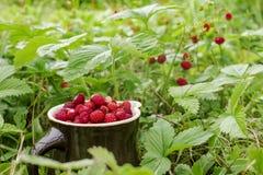 Las fresas salvajes maduras que crecen en la hierba Fotografía de archivo libre de regalías