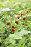 Las fresas salvajes maduras que crecen en la hierba Foto de archivo