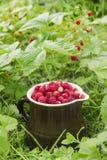 Las fresas salvajes maduras que crecen en la hierba Imagenes de archivo