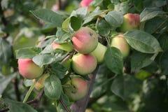 Las frutas de manzanas maduras rojas amarillas en las ramas de los manzanos cultivados en inglés del verano cultivan un huerto Foto de archivo