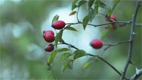 Las frutas de salvaje subieron, cadera color de rosa metrajes