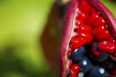 Las frutas del anomala del Paeonia Foto de archivo libre de regalías