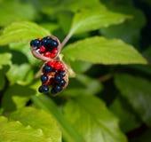 Las frutas del anomala del Paeonia Foto de archivo