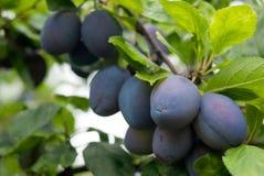 Las frutas púrpuras de un Stanley podan el ciruelo en huerta Imagen de archivo libre de regalías
