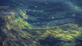 Las gałęzatka w wodzie zbiory wideo