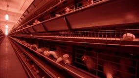 Las gallinas blancas se alimentan desde el canal en granja av?cola Gallinero de pollo almacen de metraje de vídeo