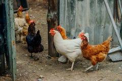 Las gallinas caminan el patio trasero Foto de archivo libre de regalías