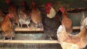 Las gallinas de corral van al granero almacen de video