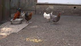 Las gallinas de corral van al granero metrajes