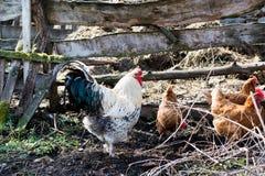 Las gallinas y el gallo alimentan en el corral rural tradicional en soleado Foto de archivo libre de regalías
