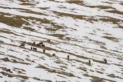 Las gamuzas reúnen, comiendo la hierba entre remiendos de la nieve Imagen de archivo libre de regalías