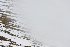 Las gamuzas reúnen, comiendo la hierba entre remiendos de la nieve y de la niebla Imagen de archivo libre de regalías