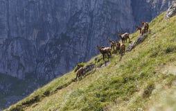 Las gamuzas reúnen en las montañas cárpatas, fagaras Foto de archivo