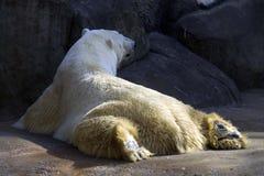 Las garras del norte árticas árticas despredadoras de la región polar del mamífero polar del oso polar pelan morones del hielo Fotos de archivo libres de regalías