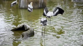 Las garzas blancas grandes caminan en el agua y separan sus alas, pájaros salvajes, flora y fauna, pájaros exóticos grandes metrajes