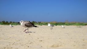 Las gaviotas caminan a lo largo de la playa arenosa en la costa del Mar Negro almacen de video